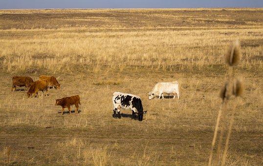 Animals, Cows, Livestock, Rural, Pastures, Landscape