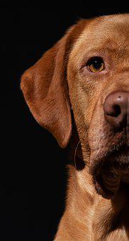 Labrador, Dog, Head, Labrador Retriever, Pet