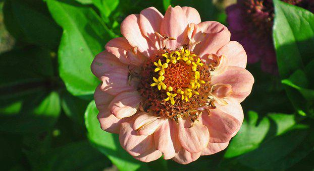 Zinnia, Flower, Pink Flower, Pink Petals, Pollen