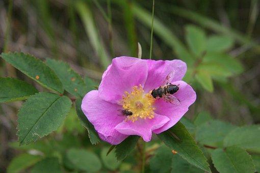 Alberta Rose, Bee, Bumble Bee, Honey Bee, Fly