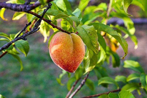 Peach, Pear, Tree, Fruit, Healthy, Eat, Nature, Garden