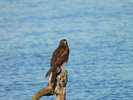 Northern Harrier, Hawk, Bird, Wild Bird, Nature