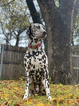 Dog, Dalmatian, Pet, Puppy, Portrait, Backyard