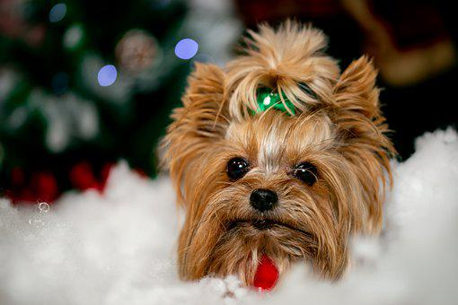 Dog, Canine, Puppy, Pet, Domestic, Snow, Christmas