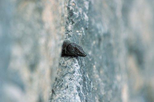 Lizard, Animal, Wall, Head, Madeiran Wall Lizard