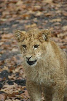 Lion, Feline, Cub, Carnivore, Fur, Predator, Young