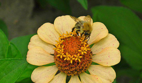 Bumblebee, Zinnia, Nectar, Bee, Insect, Animal
