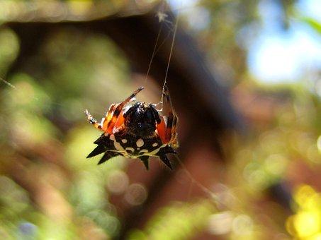 Christmas Spider, Spider, Web, Arachnid, Spiny