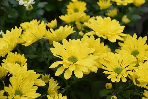 Flowers, Yellow Flowers, Petals, Plants, Flora
