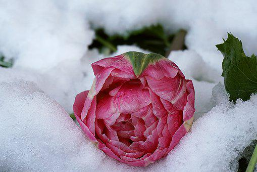 Flower, Tulip, Petals, Snow, Ice, Frost, Pink, Colorful