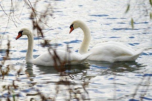 Swans, Pair, Birds, Waterfowls, Water Birds, Lake