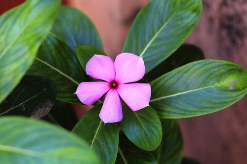 Periwinkle, Flower, Leaves, Purple Flower, Petals