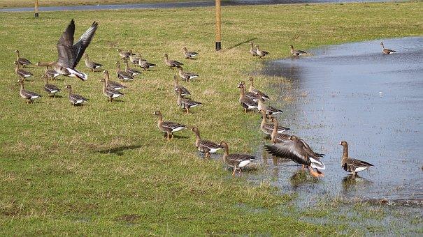 Geese, Flock, Birds, Migratory Birds, Group, Wetlands