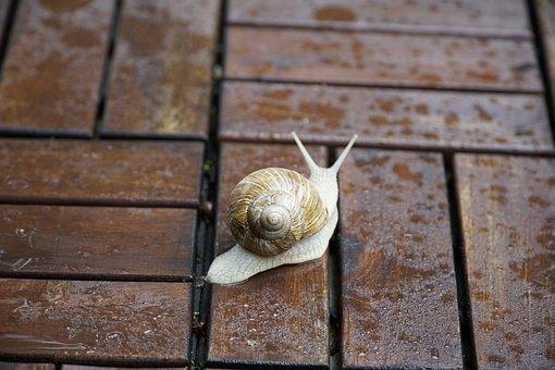 Helix Pomatia, Escargot, Snails, Shell, Animal, Mollusk