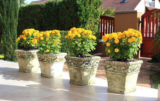 Chrysanthemums, Pots, Patio, Yellow Flowers, Flowers