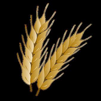Wheat, Wheat Spikes, Grains, Wheat Head, Cereal Grains