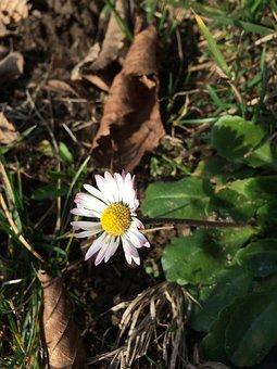 Daisy, Flower, White Flower, White Daisy, White Petals