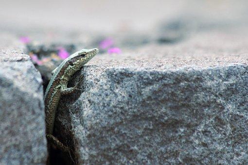 Lizard, Reptile, Animal, Nature, Wildlife, Creature
