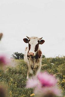 Cow, Animal, Meadow, Cattle, Mammal, Livestock, Field