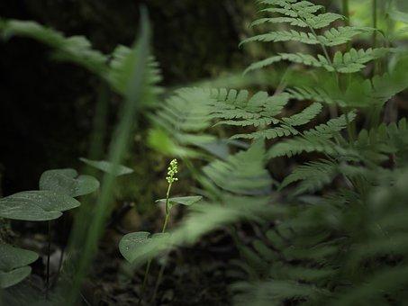 Buds, Flower, Ferns, Maianthemum, Bifolium, Plants