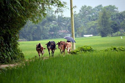 Cows, Calf, Farm, Cattle, Herd, Animals, Mammals