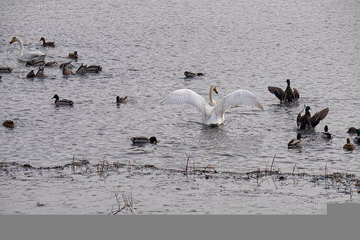 Cygnets, Swans, Lake, Birds, Waterfowls, Water Birds