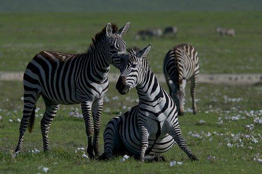 Zebras, Animals, Safari, Mammals, Equine, Wildlife
