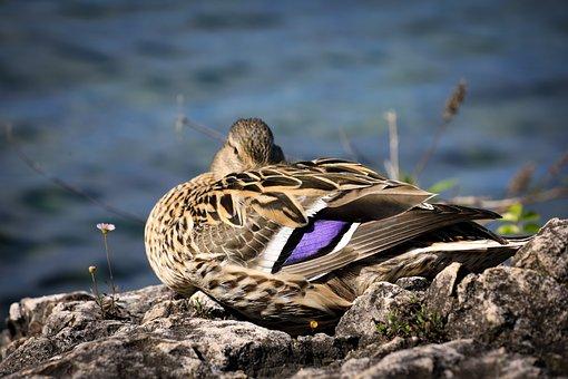 Duck, Mallard, River Bank, Bird, Waterfowl, Water Bird