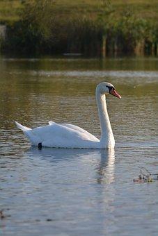 Swan, Pond, Water, Bird, Lake, Animal, Nature, Cute