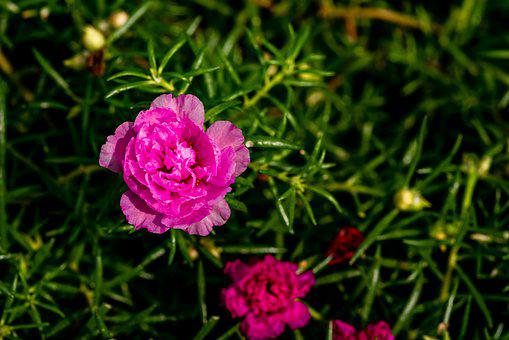 En O'clock Flower, Close-up, Flower, Rose, Green, Plant