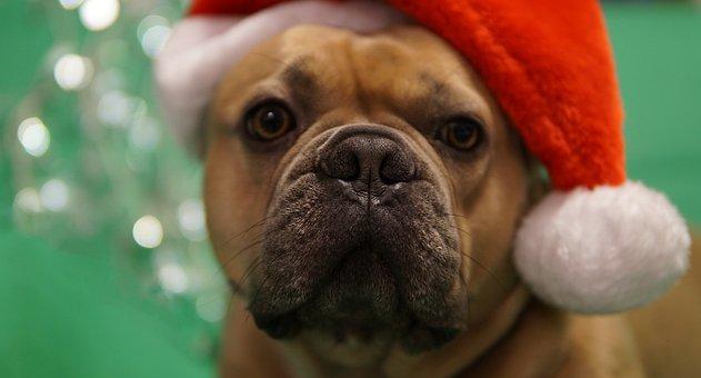 Christmas, French Bulldog, Santa Hat, Pet, Snout