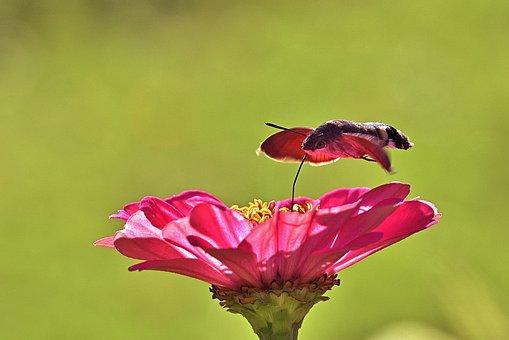 Hummingbird Hawk Moth, Insect, Zinnia, Hawk Moth, Moth