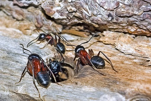 Ants, Insects, Camponotus Ligniperda, Carpenter Ant