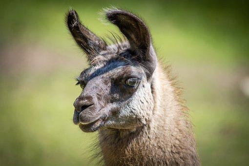 Llama, Animal, Head, Brown, Llama Head, Lama Glama