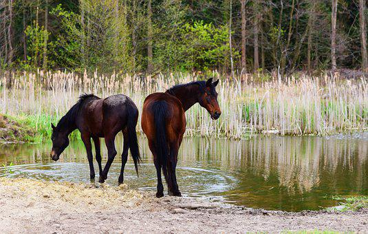Horses, Equine, Equestrian, Pond, Watermgrass, Pasture