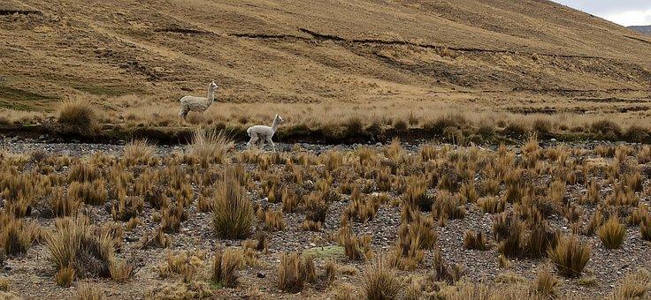Peru, Alpaca, Alpaca Baby, South American Camelids