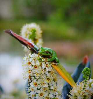 Frog, Amphibian, Pond, Garden Pond, Animal