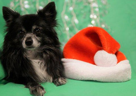 Chihuahua, Santa Hat, Pet, Small Dog, Christmas