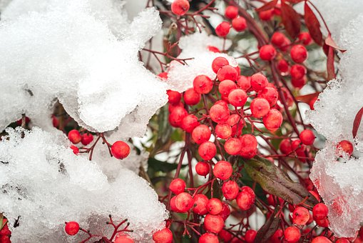 Snow, Nature, Berryes, Red