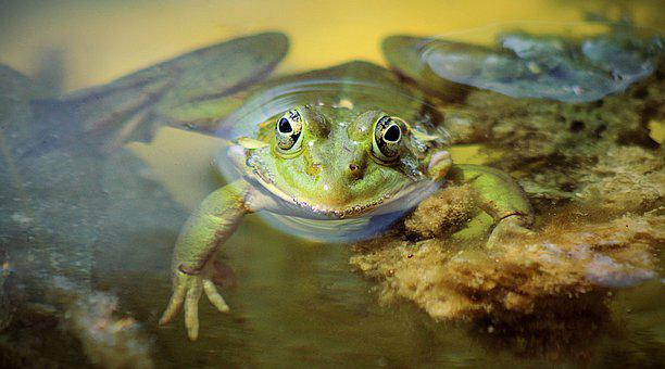 Frog, Amphibian, Pond, Water, Frog Prince, Water Frog