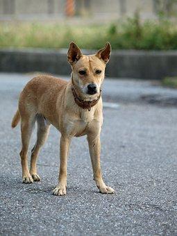 Yellow, Dog, Hybrid, Standing, Alert, Yellow Dog