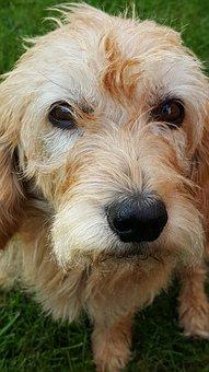 Dog, Eyes, Appealing, Basset, Face