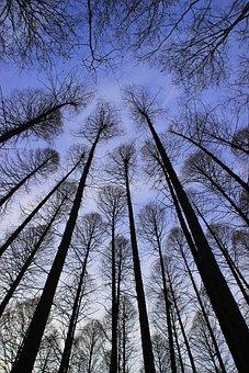 Metasequoia, Tree, Sky, Evening, Look Up, Winter