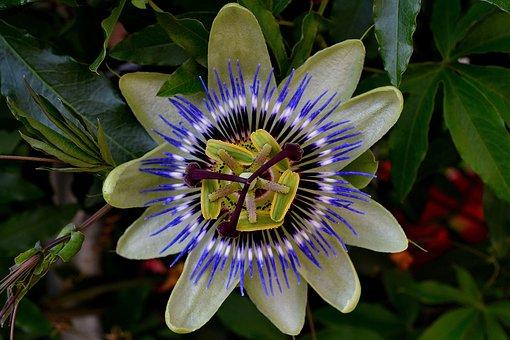Passionflower, Color, Exotic Bush, Flower, Bloom