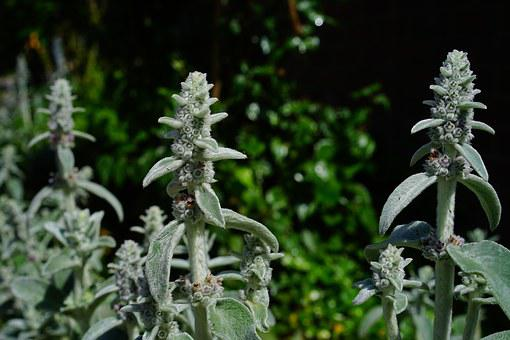 Stachys Wool, Stachys, Flowers, Inflorescence, Plant