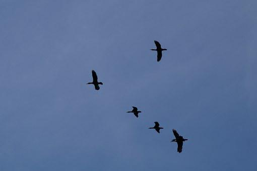 Geese, Formation, Wild Geese, Migratory Birds, Fly