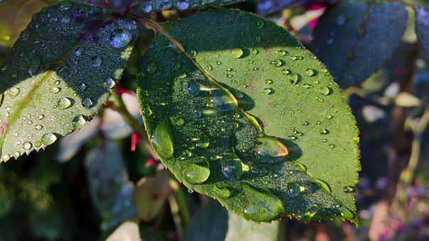 Foliage, Dew, Nature, Caul, Rose, In The Morning