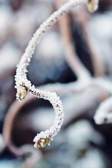 Branch, Frost, Snow, Winter, Frozen, Cold, Ice