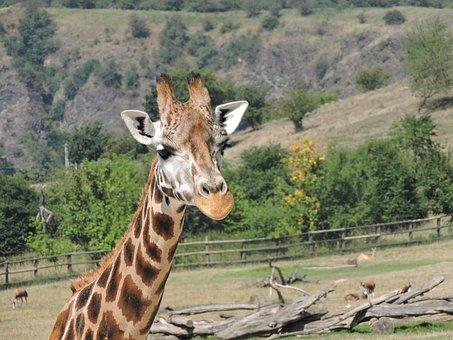 Giraffe, Zoo, The Prague Zoo