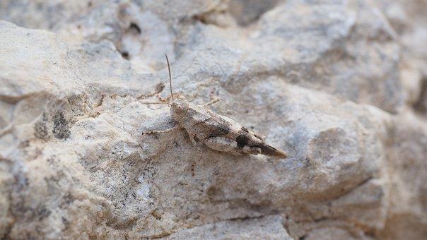 Oedipoda Caerulescens, Grasshopper, Insect